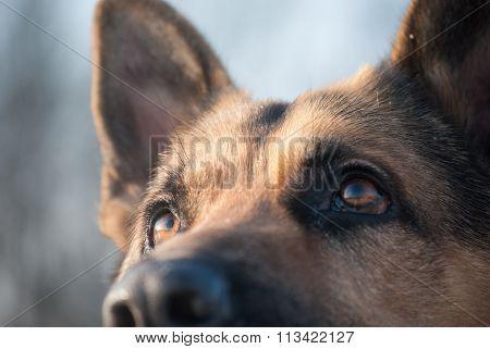 german shepherd stares