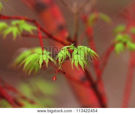 A Japanese Maple tree leaf.