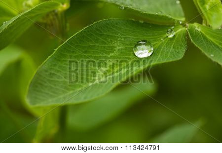 Water Drop On Trefoil Leaf