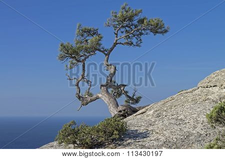 Pine On A Rock Against The Blue Sky. Crimea.