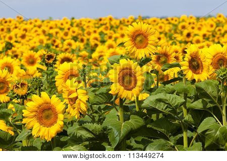 Field Of Bright Sunflowers