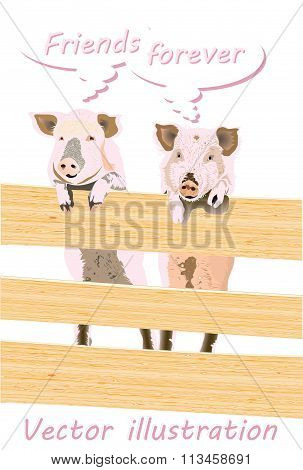 Two pig behind the fence
