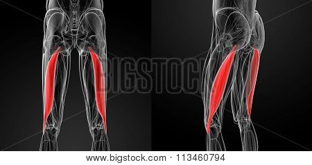 Medical  Illustration Of The Biceps Femoris
