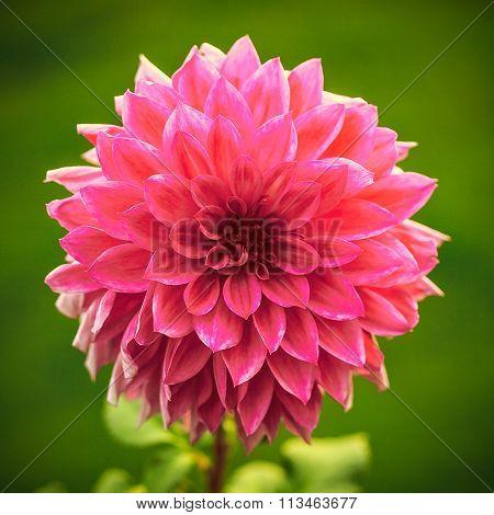 Beautiful Dahlia (Carolina Burgundy)