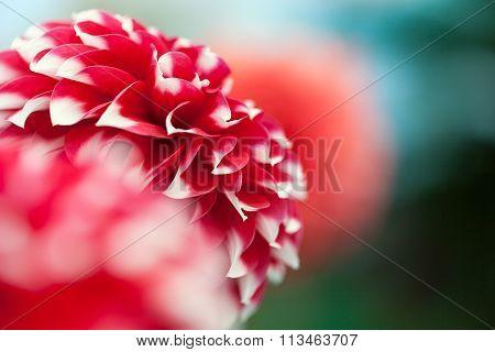 Beautiful red and white Dahlia (Carolina Burgundy)