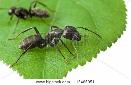Two Ants On Green Leaf