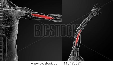 Medical  Illustration Of The  Brachialis