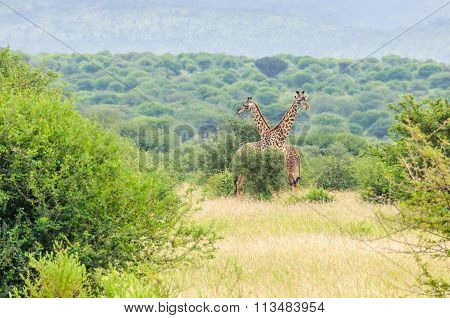 Giraffe Close To The Road, Lake Manyara, Tanzania