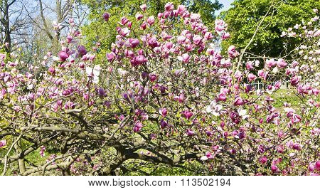 Pink magnolia tree in blossom with many flowers.