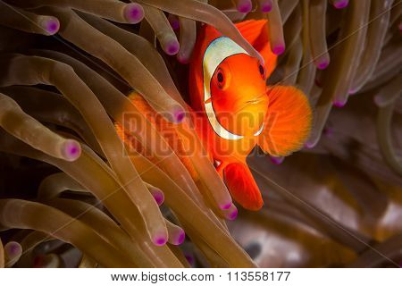 Maroon Clownfish In Anemone