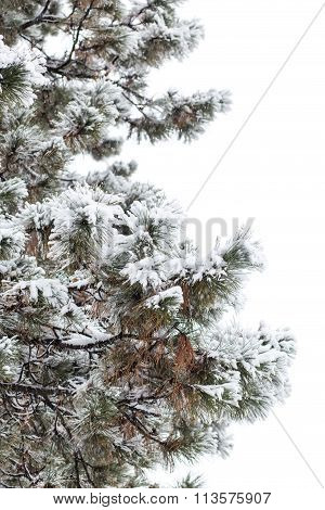 Snowy Branches Of Pine Tree Isolated On White Background