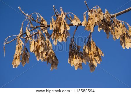 Dried maple seeds on a branch of maple