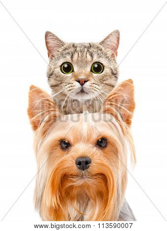 Funny portrait of a cat Scottish Straight and Yorkshire terrier
