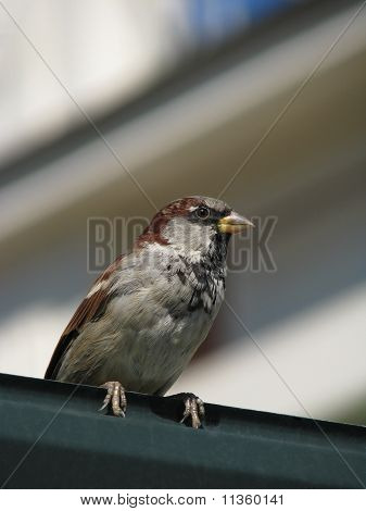 Sparrow on metallic sheet