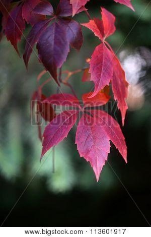 Wild Grapevine Liana Branch