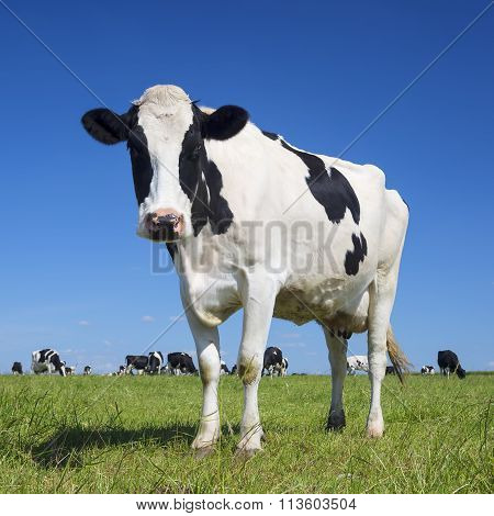 Black And White Cow With Blue Sky