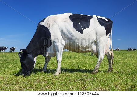 White And Black Cow Grazing On A Meadow