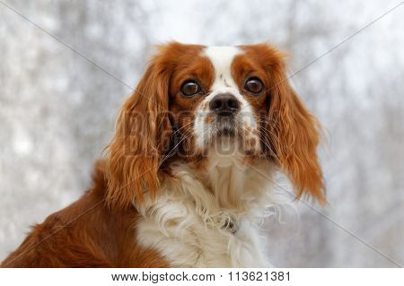 King Charles Spaniel On Blurred Background