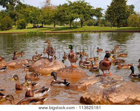 Duck Congregation