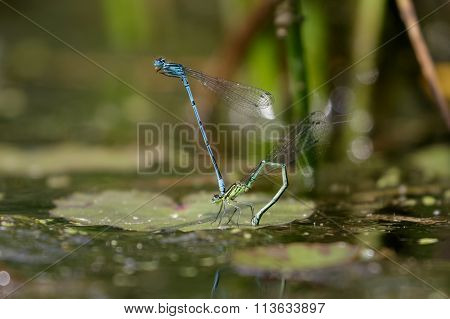 Azure Damselfly (coenagrion Puella)