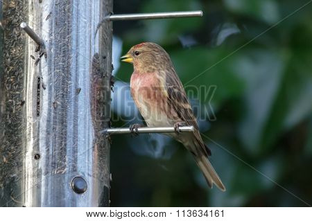 Lesser Redpoll (Acanthis cabaret) taking advantage of a winter Niger seed feeder. poster