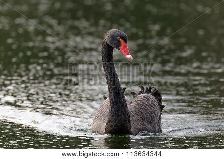 Front View Of A Black Swan (cygnus Atratus)