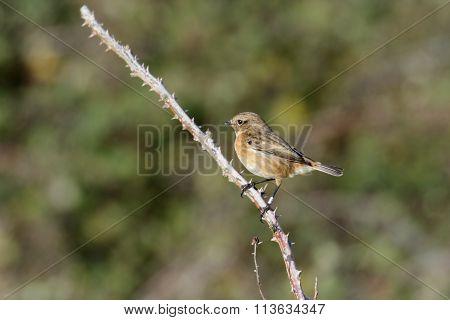 Female Stonechat (saxicola Rubicola)