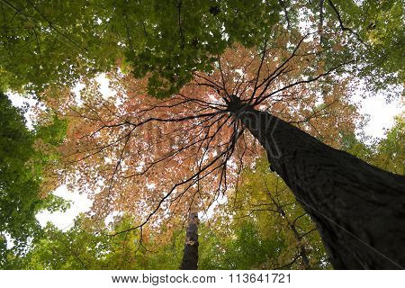 single red tree in the forest canopy of green foliage in autumn