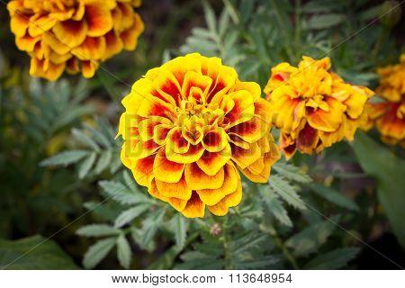 Marigolds (Tagetes erecta Mexican marigold Aztec marigold African marigold)