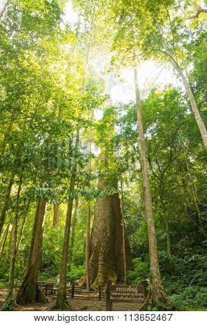 Biggest mersawa tree in Thailand forest at King Taksin National Park Tak Province Thailand Anisoptera costata mersawa Krabak tree poster