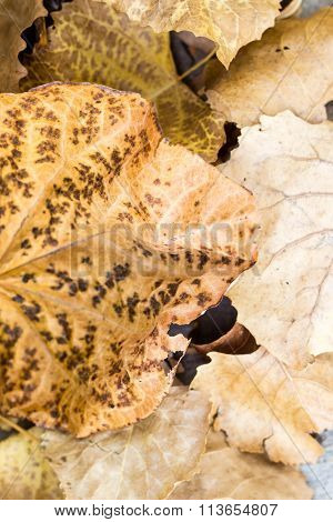 Brittle, brown fall leaves in a pile