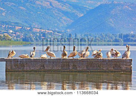 Pelicans (lat. Pelecanus Linnaeus)