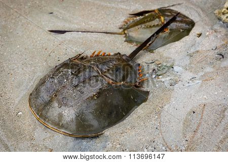 Male And Female Xiphosura (limulus Polyphemus)