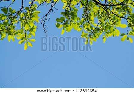 Green Leaf Background And  Blue Sky.