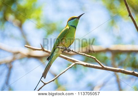 European Bee-eater, On The Branch