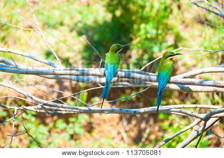 European Bee-eaters, On The Branch