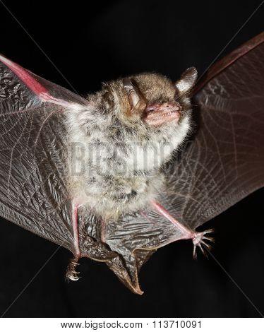 Natterer's Bat  Open Wings On  Black