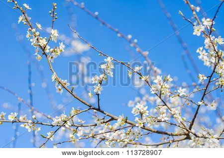 Cheery Blossom Flowers On Spring Day. Beauty Flowers