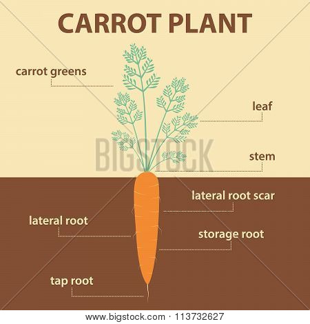 Vector Diagram Showing Parts Of Carrot Whole Plant