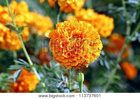 Flowers Of Bright Orange Marigolds