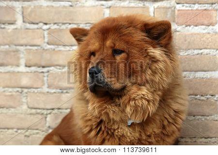 Beautiful brown dog