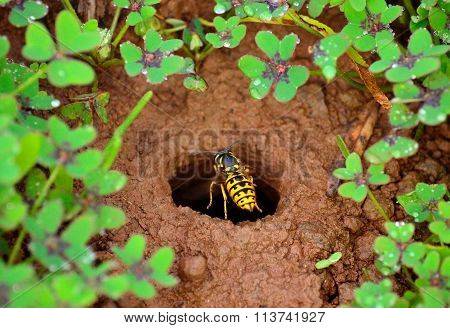 Wasp about to enter in the underground nest