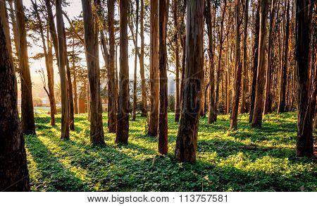 Sunlight Shining Through Tree Trunks