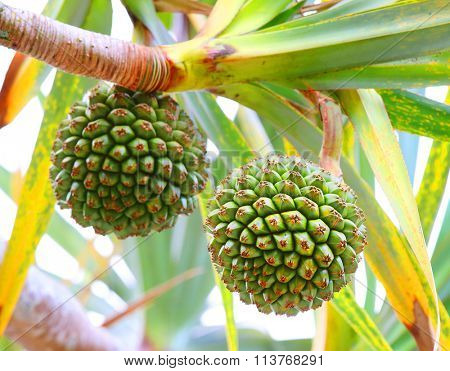 The Common Screwpine (Pandanus utilis) it is native to Madagascar, Mauritius, and the Seychelles. Very healthy and tasty fruit from tropical destinations. Closeup with shallow DOF.