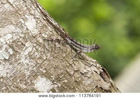 Molting Brown Anole Lizard