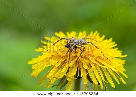 Feeding Spider