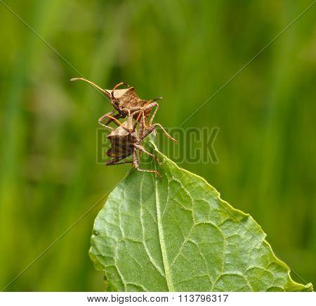 Two Squash Bugs