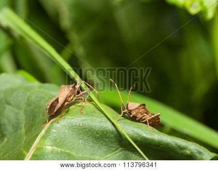 Dock Bugs On Green Leaf