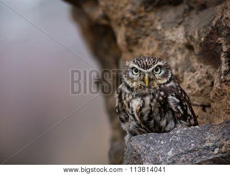 Closeup of an Eastern Screech Owl perching on a stone wall.