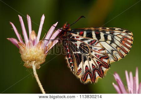 Southern Festoon,  Zerynthia Polyxena